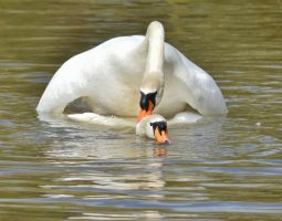 Swans 2014 1 5 by melrissbrook