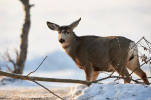 Mule Deer Buck-Hornless by JestePhotography