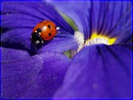 ladybug in blue WP by webcruiser