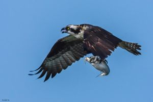 Catfish Blues on the Osprey Express by TerribleTer