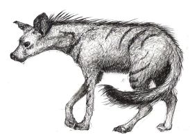La Specola Sketches - Aardwolf by MonicaMcClain