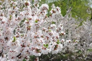 Cherry blossoms by Christiana-Goupil