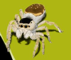 Mexican Jumping Spider by Arta01