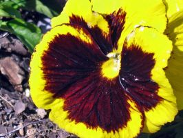 Pulchritudinous Pansy by lamarble