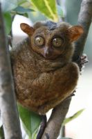 Philippine Tarsier 02 by angelynne
