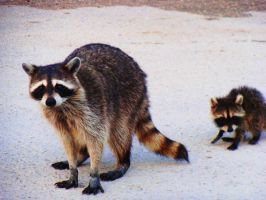 mama and baby raccoons by HurtMePlease123