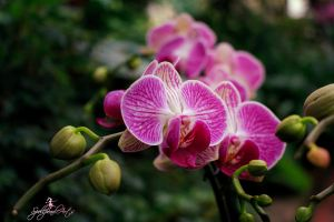 Orchid 1 by SpellpearlArts