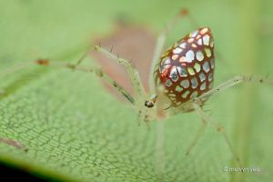 Mirror spider (Twaitesia sp.) by melvynyeo