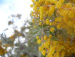 Dew Drops On Wattle by x-Katus-x