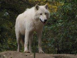 North American Arctic Wolf 55 by animalphotos