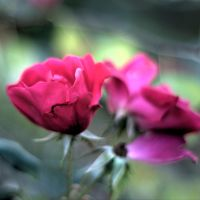 November Roses by chef-chad