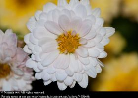 White and Yellow Dahlia Stock by Nameda by Nameda