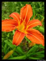 day lilly by ButterflyBlew