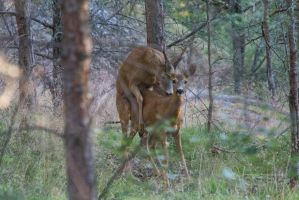 Doe and Stag 2 by JRL5