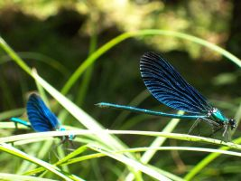 Blue Damselflies 2 by KurtzGB