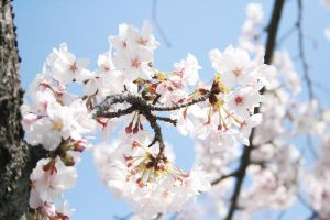 SAKURA Stock Photo no.2 by mr-hachidaime