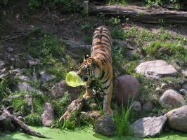 playing tiger 03 by Pagan-Stock