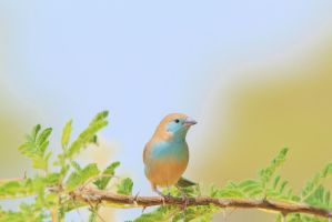 Blue Waxbill - Wild and Colorful Africa by LivingWild