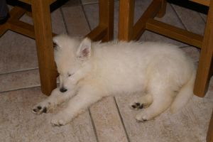 BergerBlancSuisse by delphine232