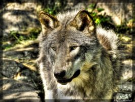 Grey wolf by digitalminded