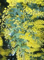 Wattle by me-and-mojo