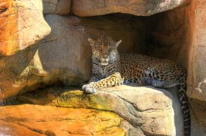 Jaguar - HDR - Akron Zoo by chris-stahl