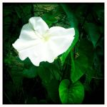 Moonflower by prudentia