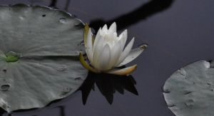 Young Water Lily by Matthew-Beziat