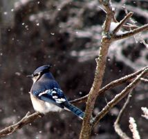 Winter Bluejay by KAKruger