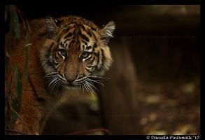 Baby Tiger: Glare by TVD-Photography