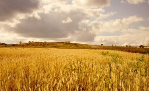 Gold field by Tumana-stock