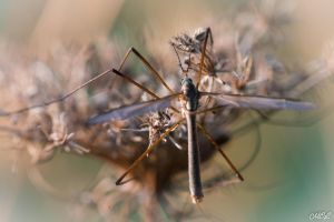 Mosquito by MCL28