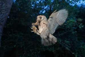 Scoops owl... blurring with a flash by phalalcrocorax