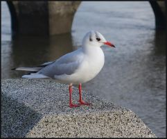Common Black-headed Gull by sags