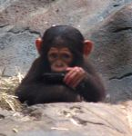 Chimp baby by Hozzell
