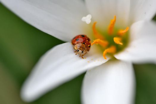 Lady Bug in White Flower by vids