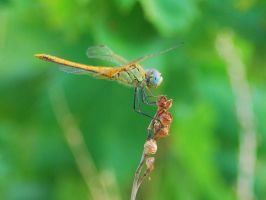 Dragonfly by apostacyphoto