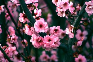 apple blossom wallpaper by CrazyChance89