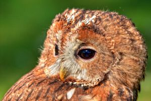 brown owl_I by deoroller