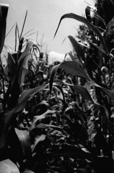 corn by zsazs