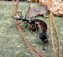 Big black ant carrying a dead insect by PUBLIC-DOMAIN-PICS