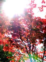 Red Japanese Maple by SpectreSabre