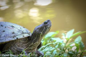 Turtle close up by Caramanos2000