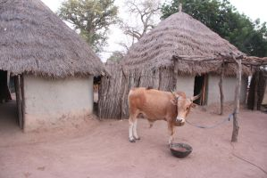 Cow with the background primitive huts village tri by slingeraar
