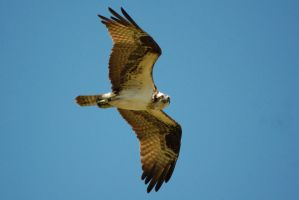 Osprey in flight by concaholic