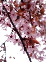 Cherry Blossom by amykins82