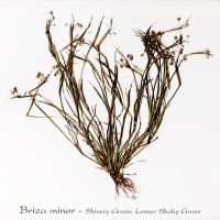 Briza minor - Lesser Shakey Grass by CouchyCreature