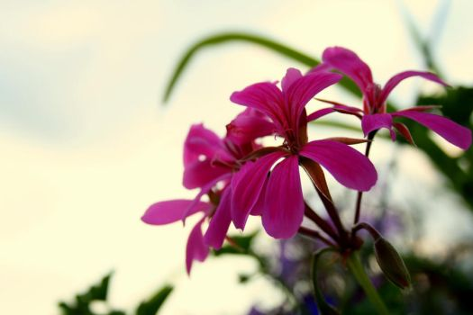 Pink Flowers by OrchidsInAutumn