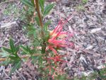 Double Pink Grevillia by tablelander
