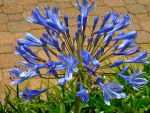 Agapanthus In Bloom by Calypso1977